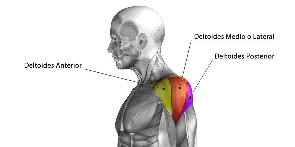 partes deltoides