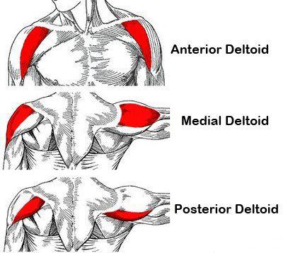 partes del deltoides